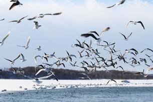 白鳥公園 濤沸湖 カモメ 群れ 雪景色の素材 [FYI00379376]
