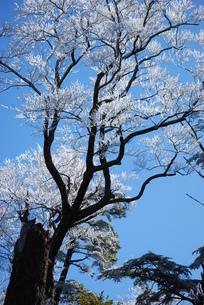 樹氷の写真素材 [FYI00379514]