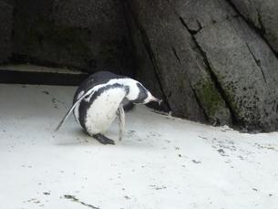 ペンギン体操の写真素材 [FYI00379521]