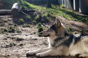 オオカミの写真素材 [FYI00379535]