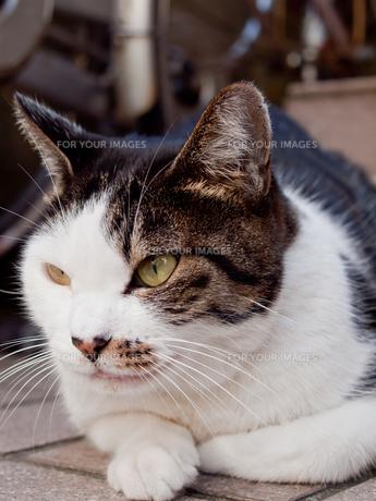 猫の視線の写真素材 [FYI00381107]
