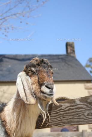 ほほ笑む山羊の素材 [FYI00381155]
