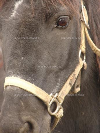 ポニーの顔の写真素材 [FYI00381201]