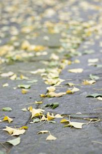 イチョウの落ち葉の写真素材 [FYI00382057]