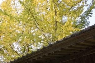 神社の屋根と銀杏の木の写真素材 [FYI00382071]