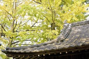 神社の屋根と銀杏の木 の写真素材 [FYI00382076]