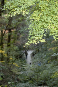 緑色のモミジの葉のアップの写真素材 [FYI00382139]