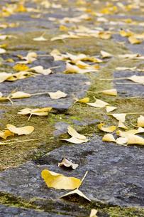 石畳の道と銀杏の落ち葉の写真素材 [FYI00382141]