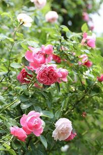 バラ レオナルド・ダ・ヴィンチ&ヘリテージの庭の写真素材 [FYI00382219]
