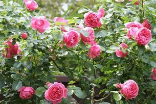 バラ レオナルド・ダ・ヴィンチの咲く庭の写真素材 [FYI00382231]