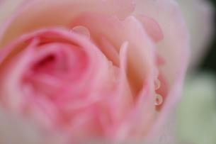 バラの花びらの雫の写真素材 [FYI00382235]