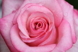 バラ プリンセスメグの写真素材 [FYI00382248]