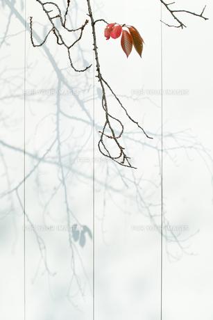 残り5枚の紅葉の葉っぱの素材 [FYI00382300]