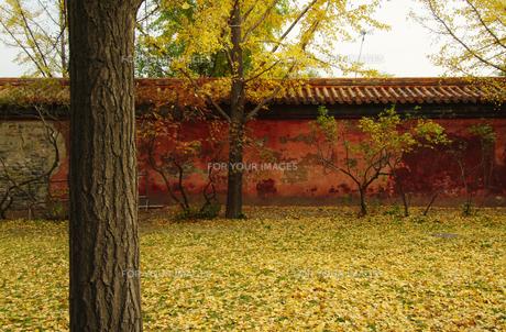 北京、景山公園の黄葉の素材 [FYI00382304]