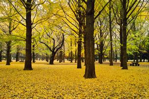 代々木公園のイチョウの黄葉の素材 [FYI00382316]