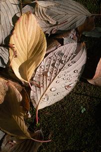 水滴のついた落ち葉の素材 [FYI00382321]