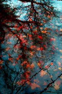 池に沈む紅葉の葉の素材 [FYI00382405]