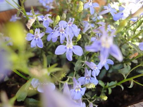 青色の小花の写真素材 [FYI00382451]