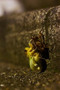 蝉の誕生の写真素材 [FYI00382452]