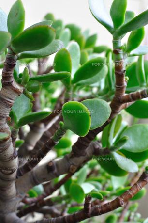 植物 金のなる木の写真素材 [FYI00382517]