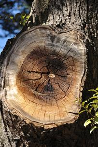 樹木の切断面の写真素材 [FYI00382565]