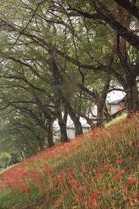 彼岸花の写真素材 [FYI00382599]