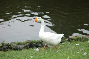 池のほとりのアヒルの写真素材 [FYI00382625]