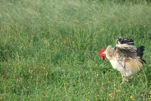 草原にいるにわとりの写真素材 [FYI00382662]