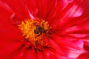 ダリアの花と蜂の写真素材 [FYI00382682]