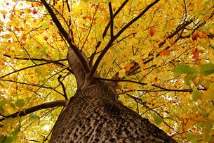 紅葉したポプラの木の写真素材 [FYI00382685]