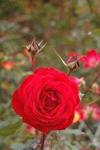 赤いバラの写真素材 [FYI00382699]