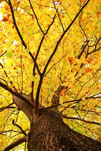 紅葉したポプラの木の写真素材 [FYI00382701]