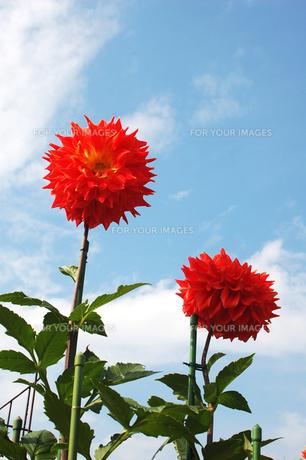 青空に向かって咲く大輪の赤いダリアの素材 [FYI00382705]