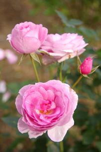 上品なピンクのバラの写真素材 [FYI00382707]