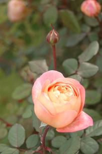 淡いピンクのバラの写真素材 [FYI00382710]