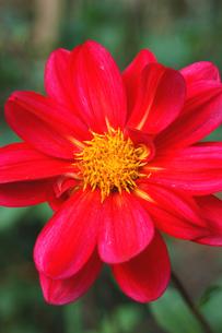 赤いダリアの写真素材 [FYI00382712]