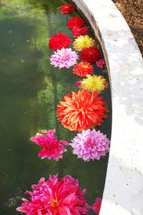 水に浮かぶダリアの花たちの写真素材 [FYI00382715]