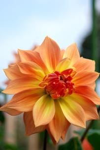 黄色プラスオレンジのダリアの花の写真素材 [FYI00382724]