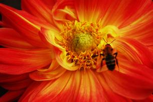 ダリアの花と蜂の写真素材 [FYI00382734]