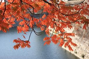 大阪城公園 ハゼの木の写真素材 [FYI00382873]