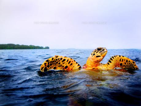 ウミガメの写真素材 [FYI00382998]