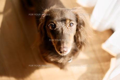 朝日で覆面した犬の写真素材 [FYI00383059]