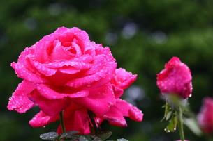 潤いの薔薇の写真素材 [FYI00383083]