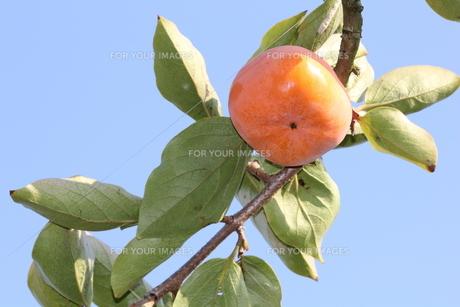 柿の木の写真素材 [FYI00383090]