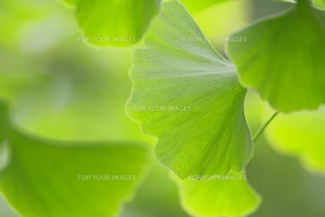 イチョウの葉の素材 [FYI00383182]