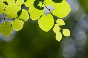 葉の素材 [FYI00383207]