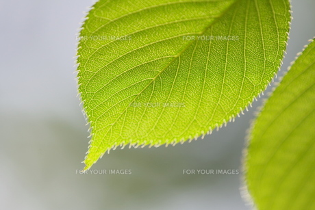 葉の素材 [FYI00383216]