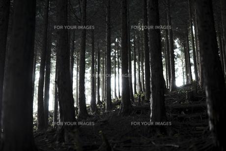 杉林の写真素材 [FYI00383277]