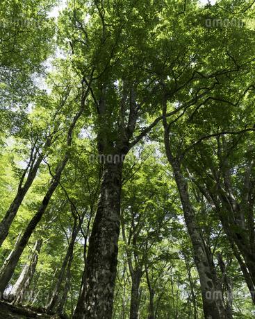 丹沢・堂平の新緑の写真素材 [FYI00383362]