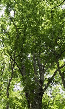 丹沢・堂平の新緑の写真素材 [FYI00383365]